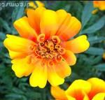 La flor de maravilla