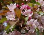 ya florecen los cerezos