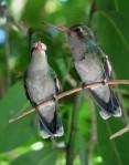 nacimiento-de-colibries